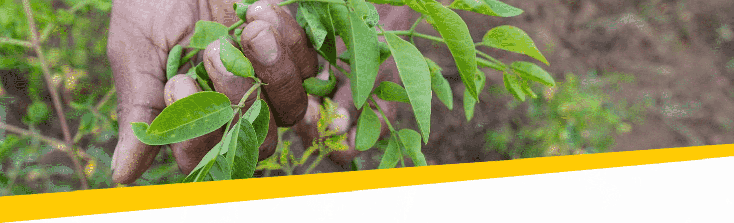 Moringa-in-hand-Johannes-Ode-The-Hunger-Project-mb